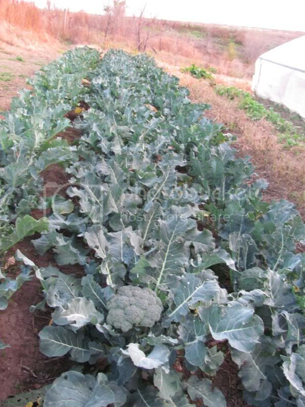 Broccoli patch